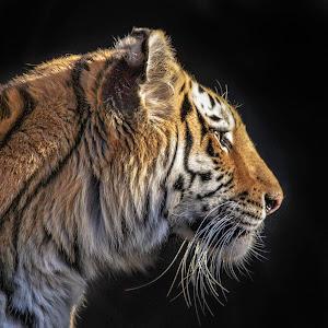 Tiger Profile-1.jpg