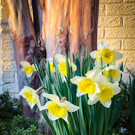 Daffodils by Mary Phelps - Instagram & Mobile iPhone ( spring, daffodil, light, daffodils, iphone )