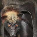golden-crowned flying fox