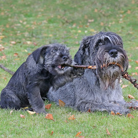 Mother and daughter by Mia Ikonen - Animals - Dogs Portraits ( mia ikonen, standard schnauzer, playing, cute, finland )