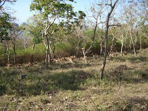 Photo: A herd of chital deer in Bandipur