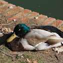 Duck (Male)
