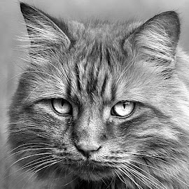 Mono Frank by Chrissie Barrow - Black & White Animals ( mono, whiskers, ears, fur, cat, monochrome, animal, black and white, eyes )