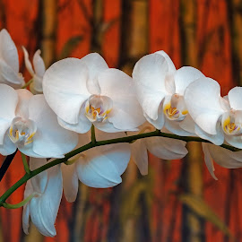 White Orcheds by Dee Haun - Flowers Flower Arangements ( orchids, flower arrangements, flowers, white, 190320f7685ce1, branch )