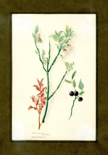 Whortleberry of the family Vacciniaceae (Vaccinium myrtillus)