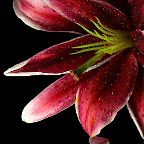 Painted in Red Wine by Esteban Rios - Nature Up Close Flowers - 2011-2013 ( macro, drops, flowers )