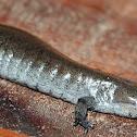 Small Mouth Salamander