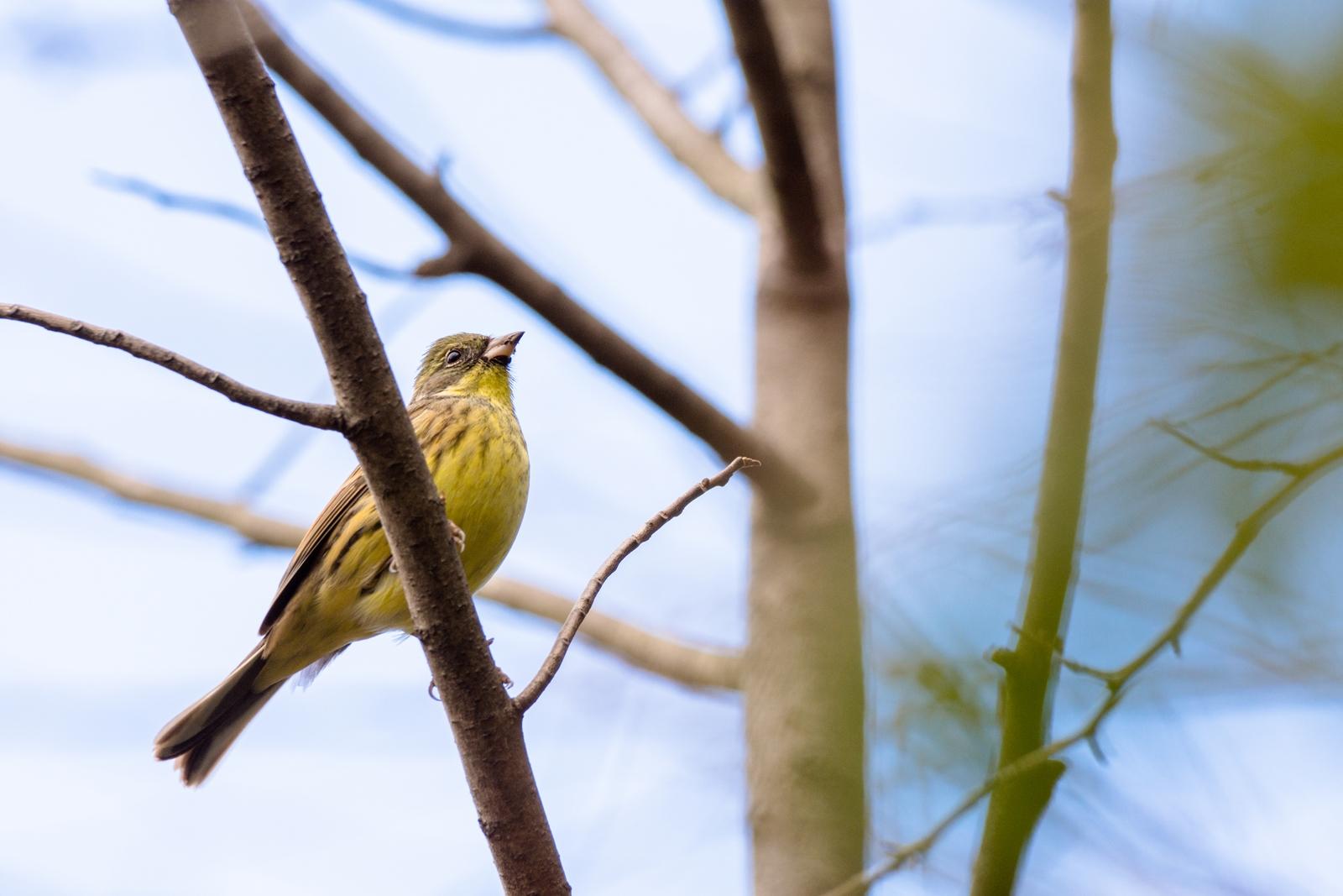 Photo: 「青い空へ」 / To the blue sky.  見上げる先 広がる冬の青 遮るもののない 解放された空へ  Black-faced bunting. (アオジ)  Nikon D7200 SIGMA 150-600mm F5-6.3 DG OS HSM Contemporary  #birdphotography #birds #kawaii #nikon #sigma #小鳥グラファー  ( http://takafumiooshio.com/archives/744 )