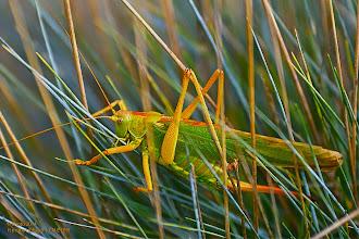 Photo: Das Grüne Heupferd (Tettigonia viridissima) (Tettigoniidae, Hepokatti)