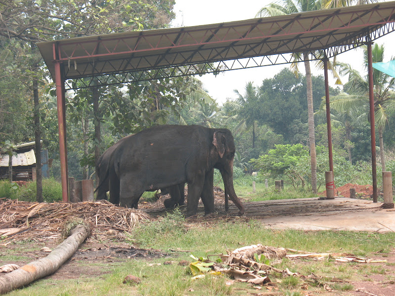 Photo: Elephants! Unfortunately they are chained up