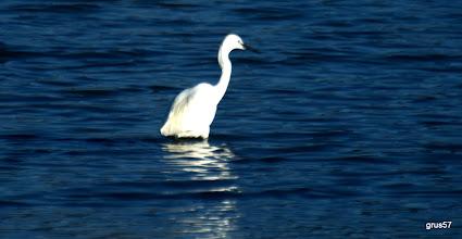 Photo: Малая белая цапля, Little Egret, (Egretta garzetta), Миссолонги
