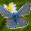 Common blue (Ίκαρος)