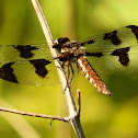 Common whitetail dragonfly