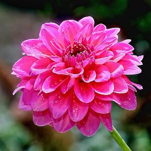 Pink dalhia.jpg