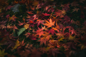 Photo: Of Leaves and Light || 葉と光  Took this just about a year ago in Nagano Prefecture, Japan. Love when the light hits a pile of leaves just right!  ちょうど一年前ぐらい、長野県でこの写真を撮りました。葉と光が会わせるといい感じだね!  http://lestaylorphoto.com  #japan #autumn #nature #nikon #紅葉 #foliage