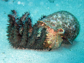 Photo: A Triton's Trumpet feeding on a crown-of-thorns starfish, which is a pretty rare sight for divers. It's a good thing too, those stupid starfish are ruining the coral reefs.