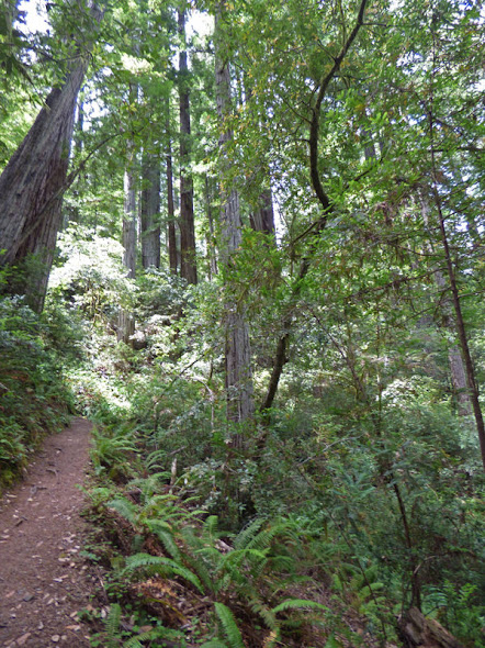 Redwood Nature Trail, Loeb State Park