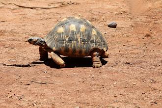 Photo: Tortue radiée de Madagascar