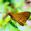 Lesser dart -skiper butterfly