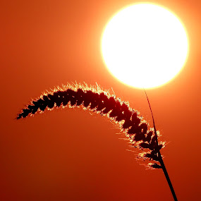 glowing by Nani Garu - Nature Up Close Leaves & Grasses ( grass, sun rise, glow, morning, sun )