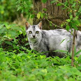 wild cat by Surren Padmanathan - Animals - Cats Portraits ( cat, jungle, green, grey, eyes,  )