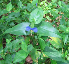 Photo: Spiderwort (Tradescantia sp.), 8.25