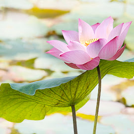 by Steven De Siow - Flowers Single Flower ( lotus flower, pink, lotus, pink flower, flower )
