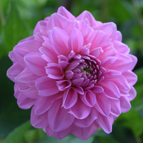 Perfect Pink by ADW Photography - Flowers Single Flower ( #botanical #flowers #dahlia #pink #gardens )