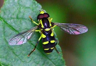 Photo: Xanthogramma pedissequum  Diptera > Syrphidae