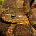 Common watersnake