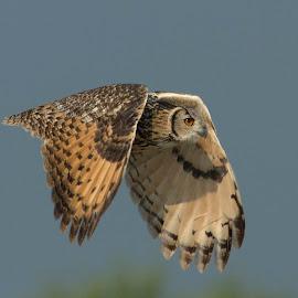 Indian eagle owl by Suraj Ramamurthy - Animals Birds ( #nannaj, #owl, #indian, #birds, #nikond4, #nikkor500mm, #eagleowl, #grasslands )