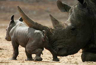 Photo: A two-day-old male black rhinoceros baby stands next to his mother Tanda, 14, at the Ramat Gan Safari near Tel Aviv, Israel, Tuesday, Sept. 25, 2007. The newborn rhinoceros is the first rhinoceros to be born in captivity in Israel in 15 years. (AP Photo/Ariel Schalit)