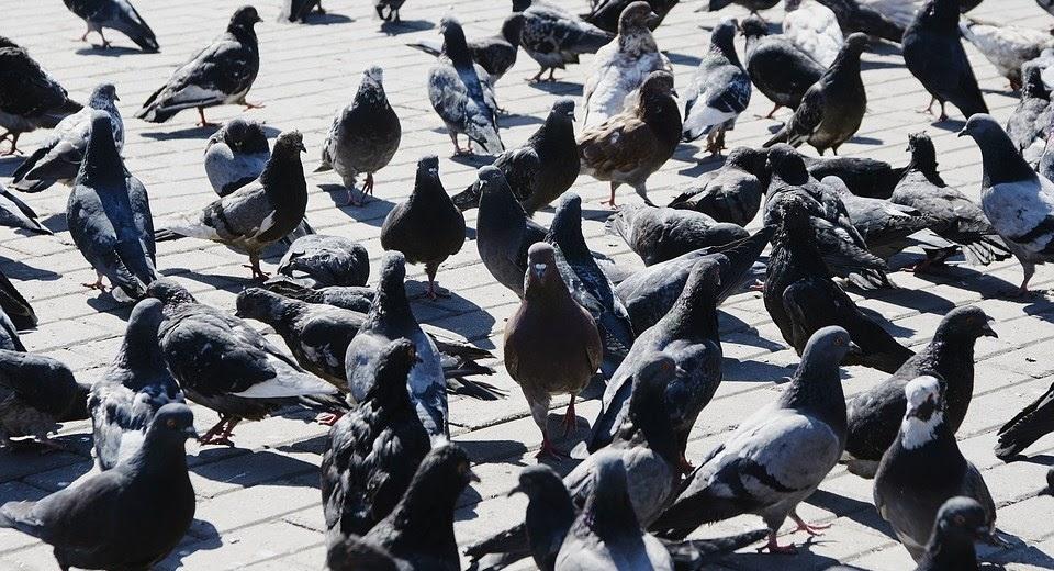 날으는 쥐, 비둘기.