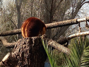 Photo: Day 6: Tree kangaroo
