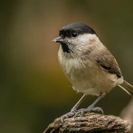 Marsh Tit by Barry Smith - Animals Birds ( nature, ornithology, animals, birds, wildlife )