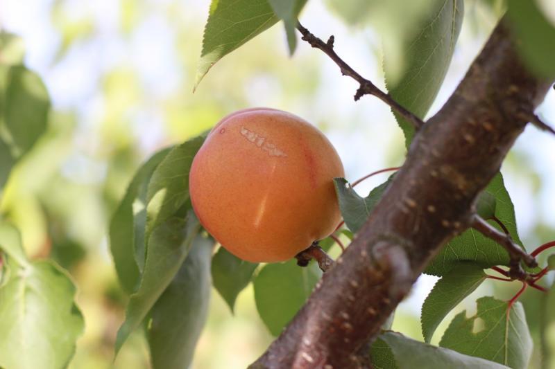 При малейшем несовершенстве фрукты отбраковывают при оптической сортировке