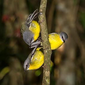 Trio of Eastern Yellow Robin by Erica Siegel - Animals Birds ( bird, robin, eastern yellow robin, yellow bird, songbird )