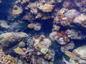 Photo: Scolopsis margaritifer (Pearly Monocle Bream), Miniloc Island Resort reef, Palawan, Philippines