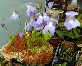 Photo: Utricularia 'Nüdlinger Flair'