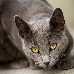 Pac by Sead Kazija - Animals - Cats Portraits ( russian blue, animals, cat, portrait, animal )