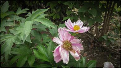 Photo: Bujor medicinal (Paeonia officinalis L.)  - din Turda, Str. Libertatii, zona Nr. 2-4 - 2019.06.04