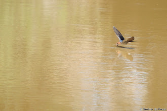 Photo: Greater Striped Swallow (Afrikaans: Grootstreepswael) scoops water at the bird hide at Stofdam in the Mokala National Park.