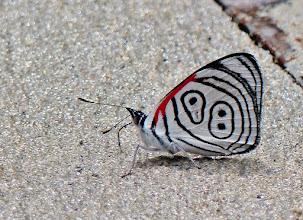 Photo: Anna's eighty-eight (Diaethria anna). Dieser auffällige Falter verdankt seinen Namen der Zeichnung auf seiner Flügelunterseite, die der Zahl 88 ähnelt. Davon gibt es Varianten, wie diese hier auch eine ist. Die Anna 88 kommt in den fechten Regen- und Nebelwaldregionen vor. Diaethria Anna kommt in Zentral- und dem nördlichen Südamerika bis in Höhen von 2000 Metern vor.