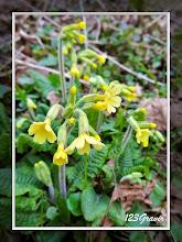 Photo: Primevère élevée, Primula elatior
