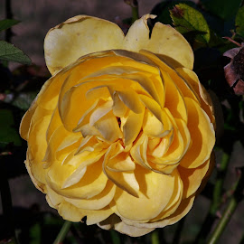 A Rose Like No Other by Sarah Harding - Novices Only Macro ( macro, nature, novices only, yellow, flower,  )