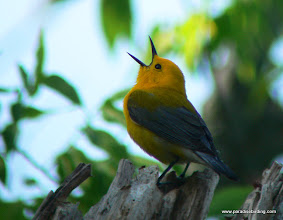 Photo: Prothonotary Warbler, Brazos Bend State Park, west of Houston