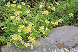 Photo: 拍攝地點: 梅峰-溫帶花卉區 拍攝植物: 澤花(荷包蛋花) 拍攝日期:2012_08_30_FY