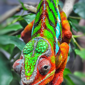 Chameleon  by Arie Shively - Animals Reptiles (  )
