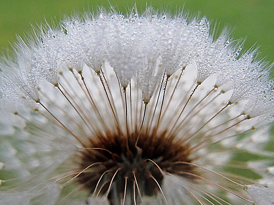 Dew balls                          by JoAnn Palmer - Nature Up Close Other plants ( water, dawn, nature, wish, dew, drops, droplets )