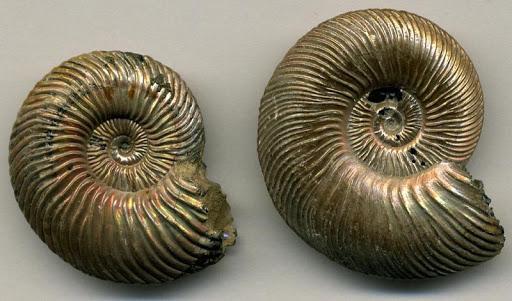 Nautilus Shells Wallpapers